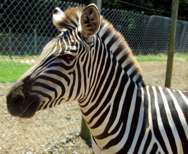 Zebra-640x5231