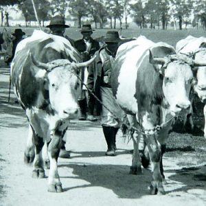 vite in banat cca 1930
