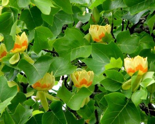 arbore_de_lalea_arbore_decorativ_peluze_amenajari_gradini_arbore_florifer_Liriodendron_tulipifera_3