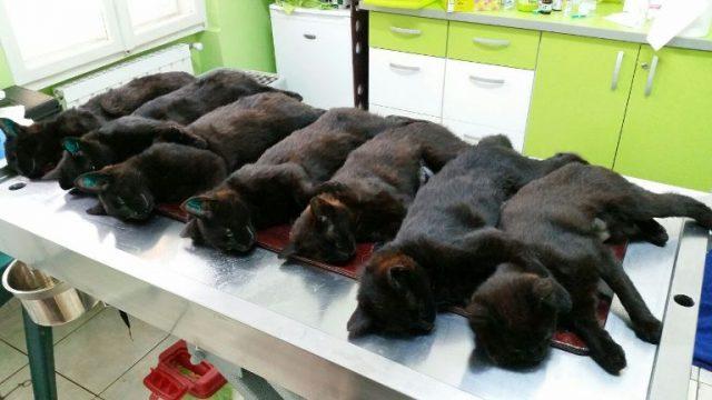 set-7-pisici-negre