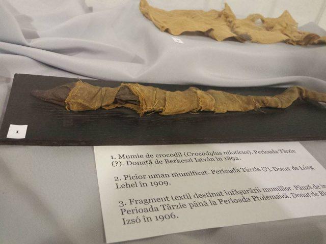 crocodil mumificat