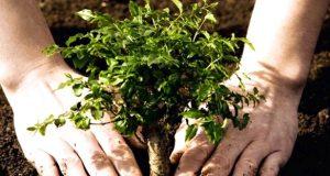 copac plantat