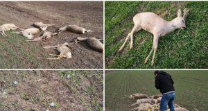 capre moarte